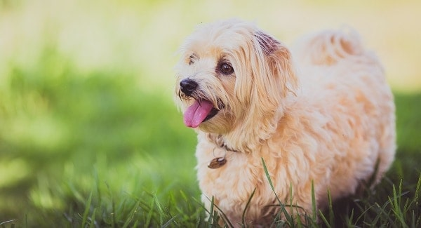 A small dog plays happily in the grass on a spring day.