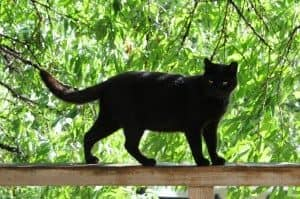 A black cat standing on a fence with trees in the background