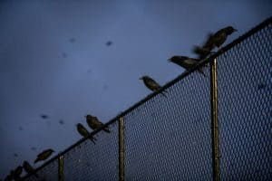 A murder of crows sitting atop a chain link fence at dusk with more crows flying in the background